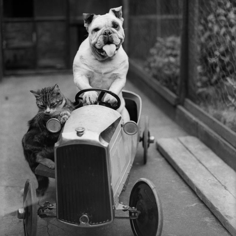 A dog driving a little car with a cat nervously riding along on the side