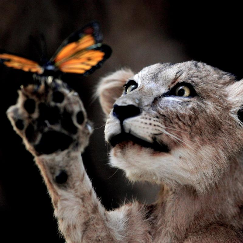 Lion cub holding a butterfly